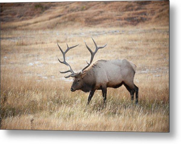 Elk In Yellowstone National Park Metal Print