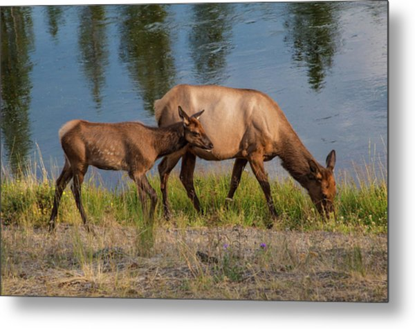 Metal Print featuring the photograph  Elks Grazing On The Madison River, Wy by Lon Dittrick