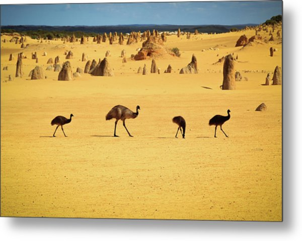Emus In Nambung National Park Metal Print by Photography By Ulrich Hollmann
