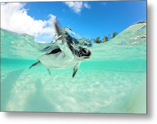 Endangered Baby Green Sea Turtle Metal Print