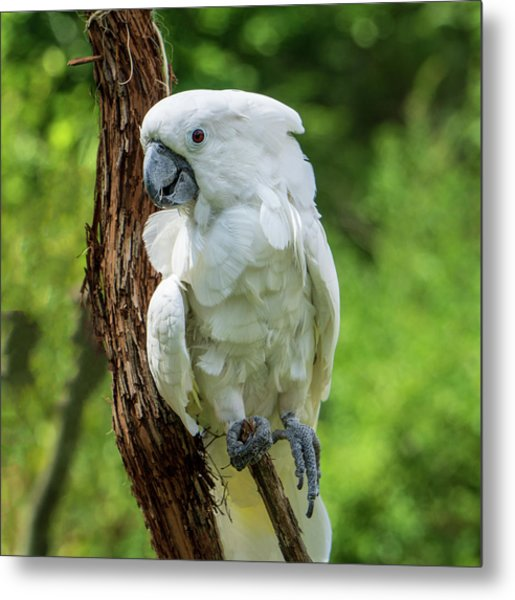 Endangered White Cockatoo Metal Print