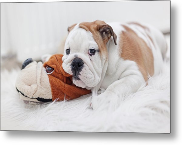 English Bulldog Puppy Metal Print by Carol Yepes