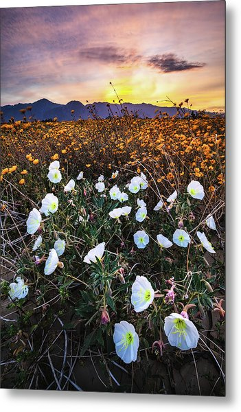 Evening With Primroses Metal Print