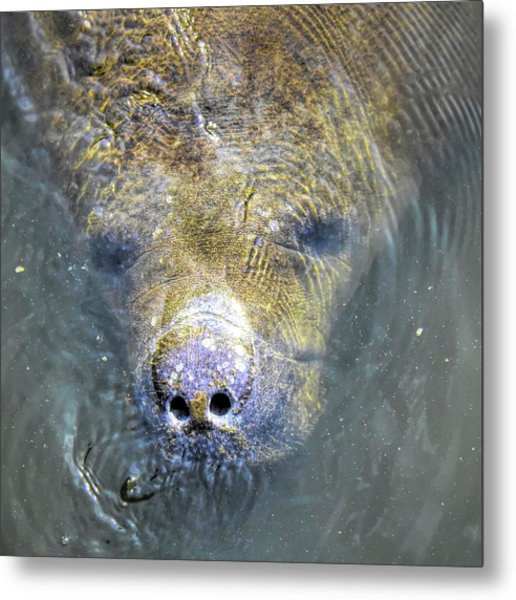 Face Of The Manatee Metal Print