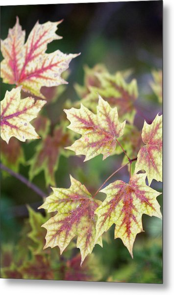 Fall Red And Yellow Leaves 10081501 Metal Print