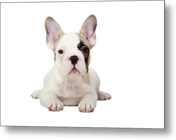 Fawn Pied French Bulldog Puppy Metal Print by Mlorenzphotography