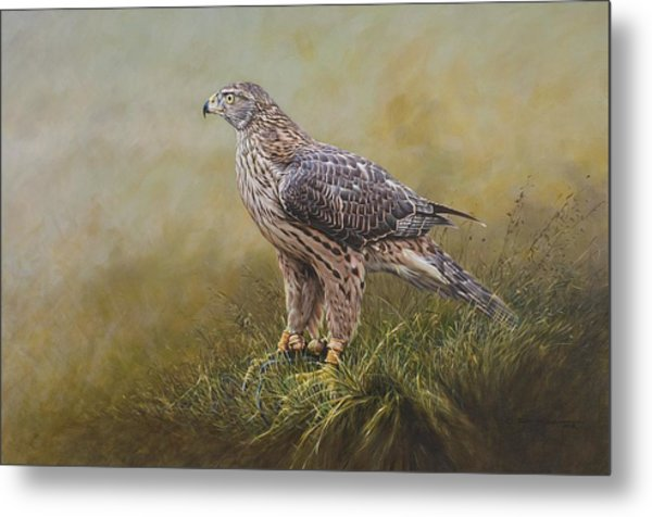 Female Goshawk Paintings Metal Print