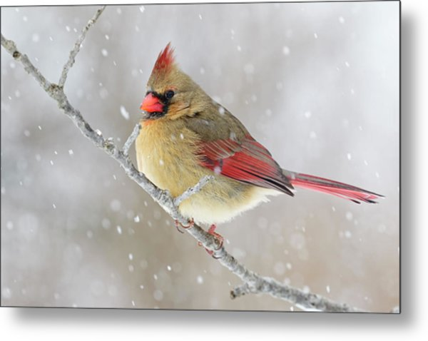 Female Northern Cardinal In Snow Metal Print by Adam Jones