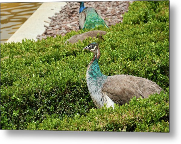 Female Peafowl At The Gardens Of Cecilio Rodriguez In Madrid, Spain Metal Print