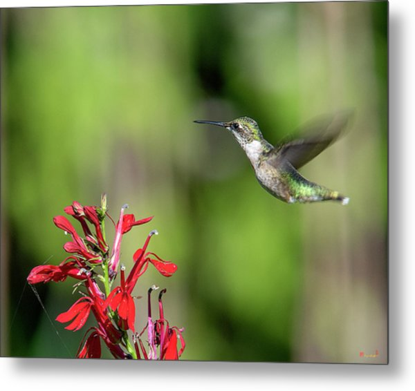 Female Ruby-throated Hummingbird Dsb0320 Metal Print