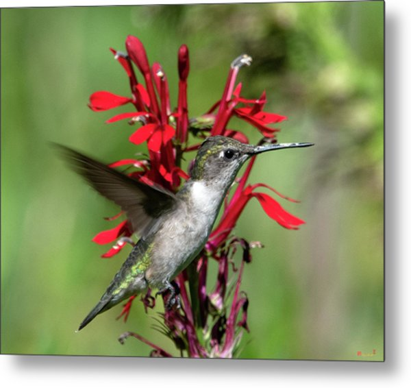 Female Ruby-throated Hummingbird Dsb0325 Metal Print