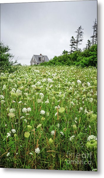 Field Of Queen Anne's Lace Metal Print