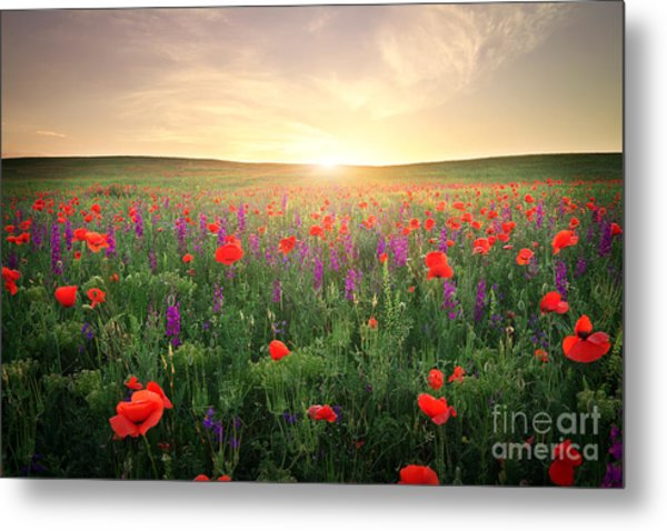 Field With Grass, Violet Flowers And Metal Print