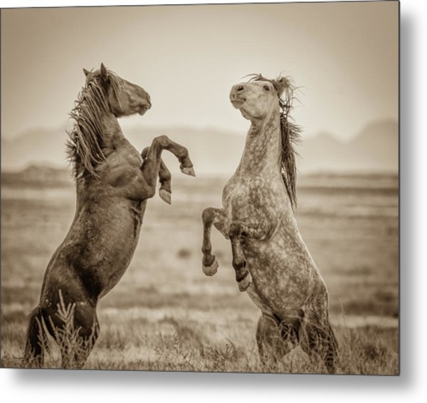 Fighting Stallions 2 Metal Print
