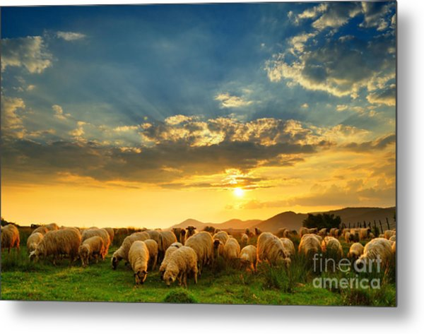Flock Of Sheep Grazing In A Hill At Metal Print