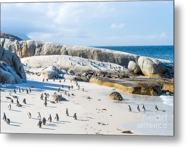 Flock Of Small African Penguins At Metal Print