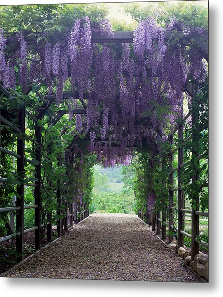 Flowering Wisteria Vines On Pergola Metal Print