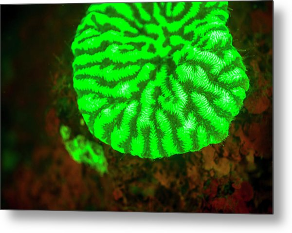 Fluorescence Emitted In Corals Metal Print by Stuart Westmorland