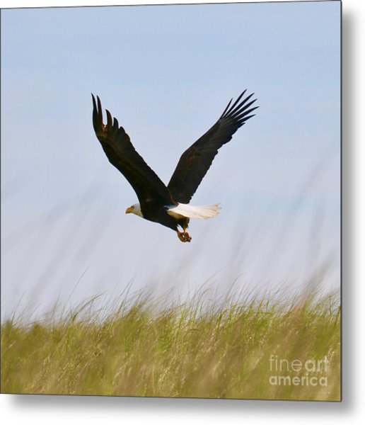 Flying Bald Eagle At Beach Metal Print