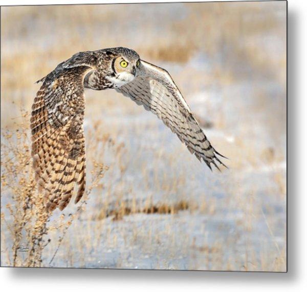 Flying Great Horned Owl Metal Print