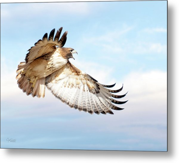 Flying Red-tailed Hawk Metal Print
