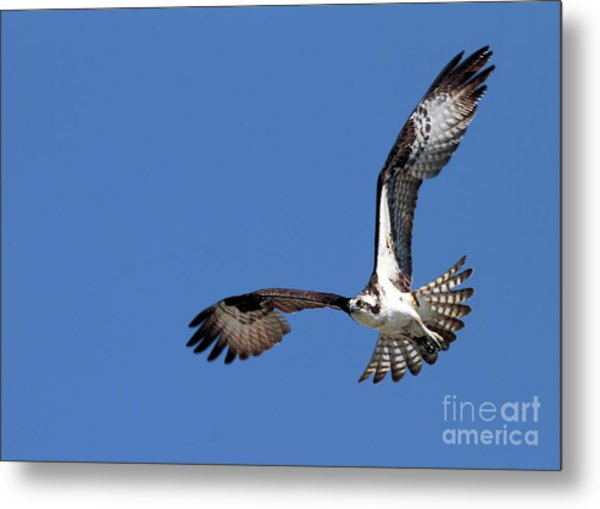 Focused Osprey Metal Print
