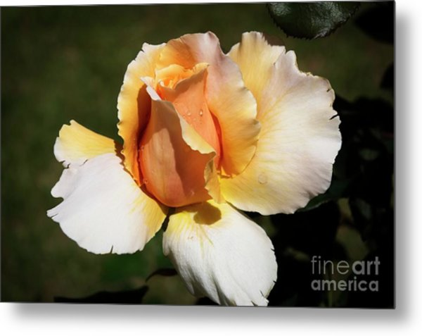 Fragrant Rose Metal Print