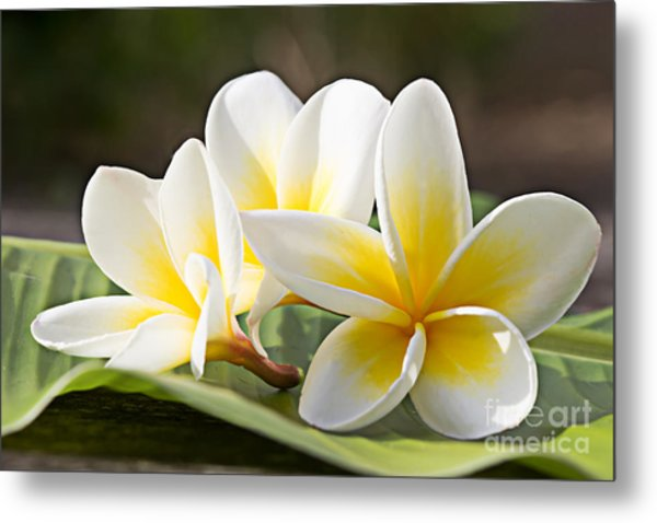 Frangipani Tropical Flowers, Plumeria Metal Print