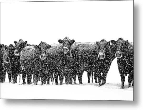 Frosty Faces Black Angus Cows Montana Metal Print