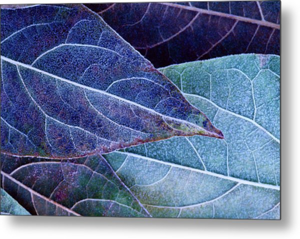 Frosty Leaves Metal Print by Ithinksky