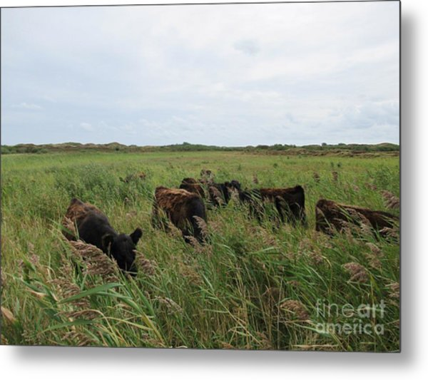 Galloway Cows On Texel North Holland Metal Print