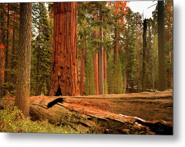 General Grant Grove Trees By Pgiam