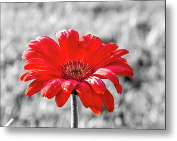 Metal Print featuring the photograph Gerbera Daisy Color Splash by Dawn Richards