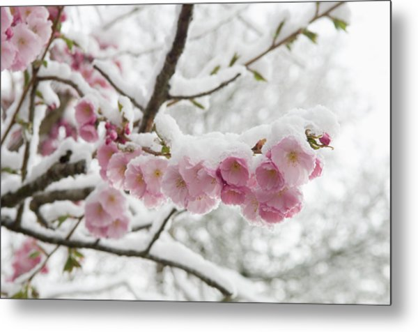 Germany, Munich, Snow Covered Cherry Metal Print by Westend61