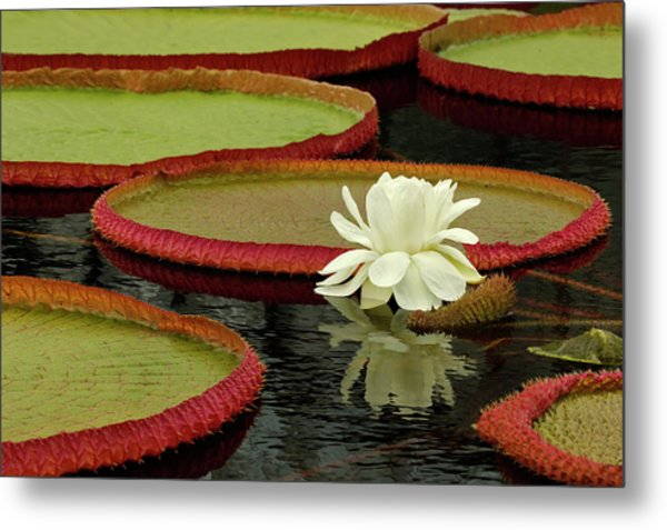 Giant Lily Pads And Waterlily In Bloom Metal Print