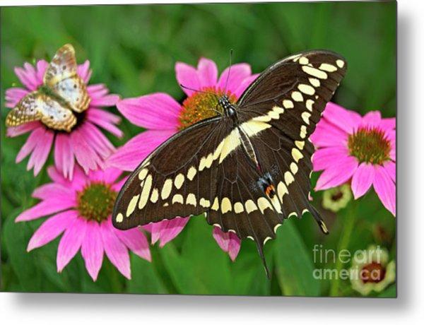 Giant Swallowtail Papilo Cresphontes Metal Print