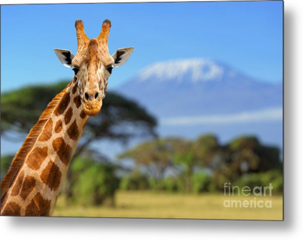 Giraffe In Front Of Kilimanjaro Metal Print