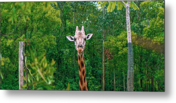 Giraffe Looking For Food During The Daytime. Metal Print