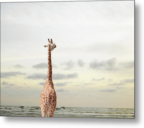 Giraffe Looking Out To Sea Metal Print by Richard Newstead
