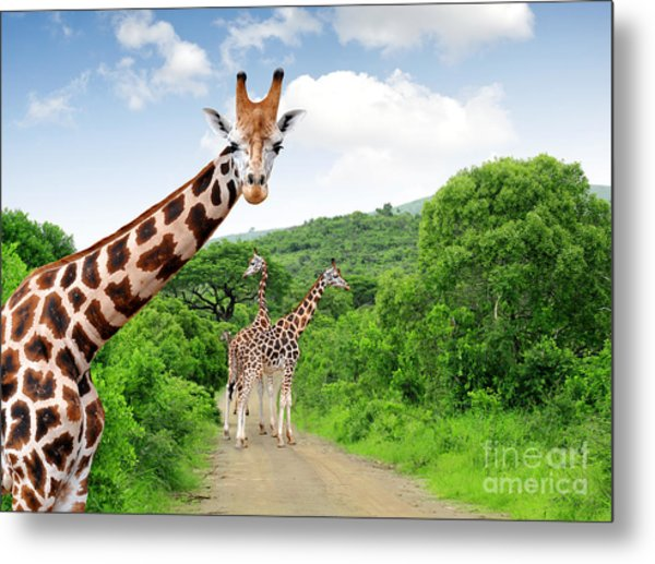 Giraffes In Kruger Park South Africa Metal Print
