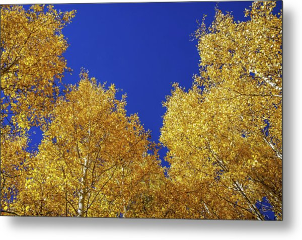 Golden Aspens And Blue Skies Metal Print