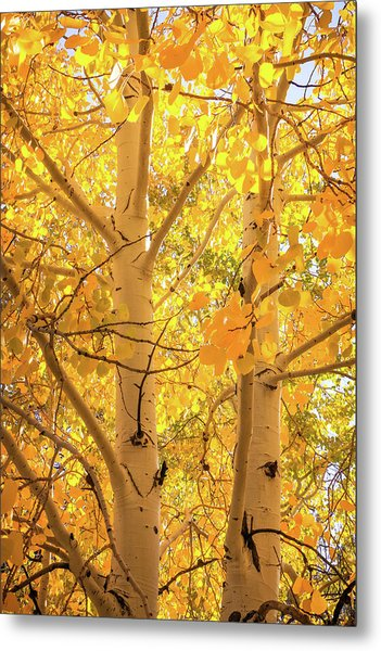 Golden Aspens In Grand Canyon, Vertical Metal Print