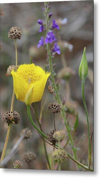Golden Mariposa Lily  Metal Print by Robin Street-Morris