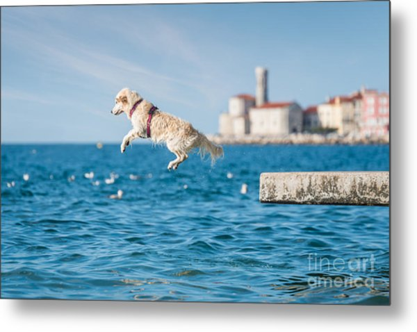 Golden Retriever Dog Jumping Into Sea Metal Print by Sonsart