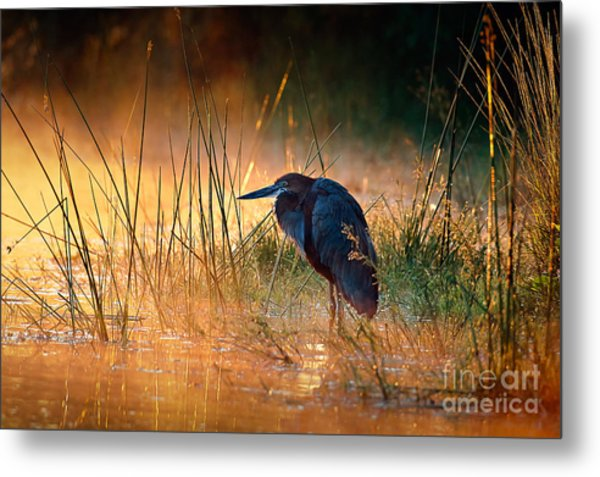 Goliath Heron Ardea Goliath With Metal Print
