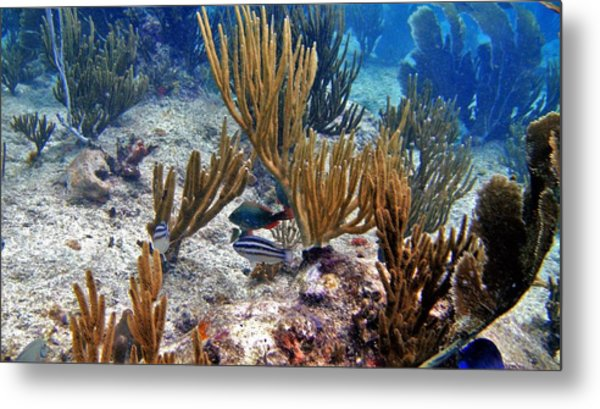 Gorgonian Parrotfish Metal Print