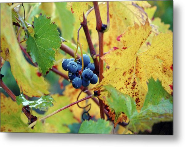 Metal Print featuring the photograph Grapes In Tuscany by Mark Duehmig