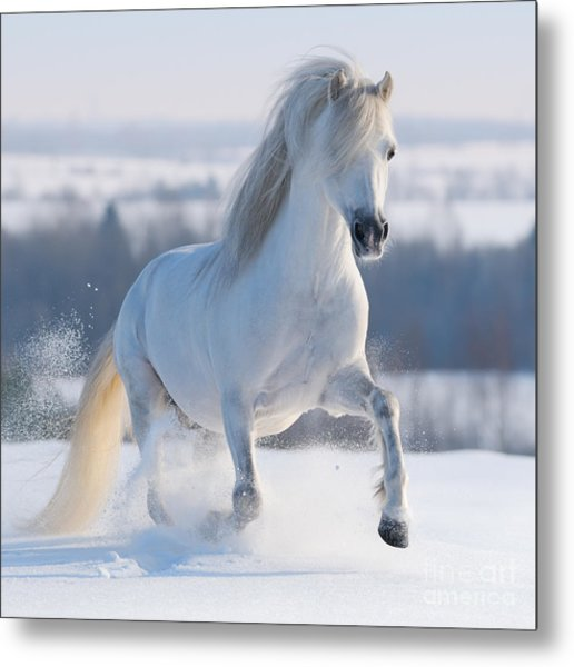 Gray Welsh Pony Galloping On Snow Hill Metal Print
