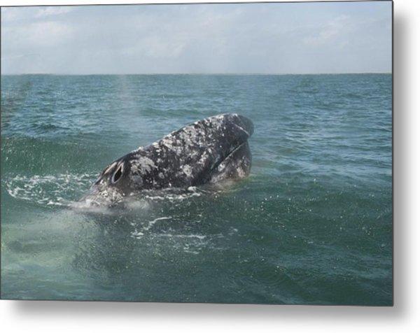 Gray Whale In Bahia Magdalena Metal Print