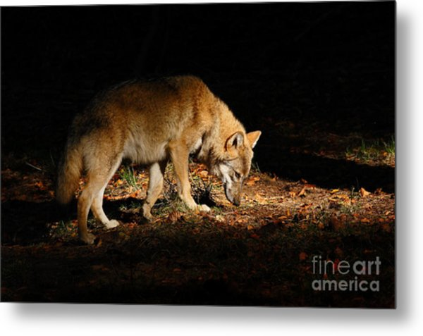 Gray Wolf, Canis Lupus, Hidden In The Metal Print